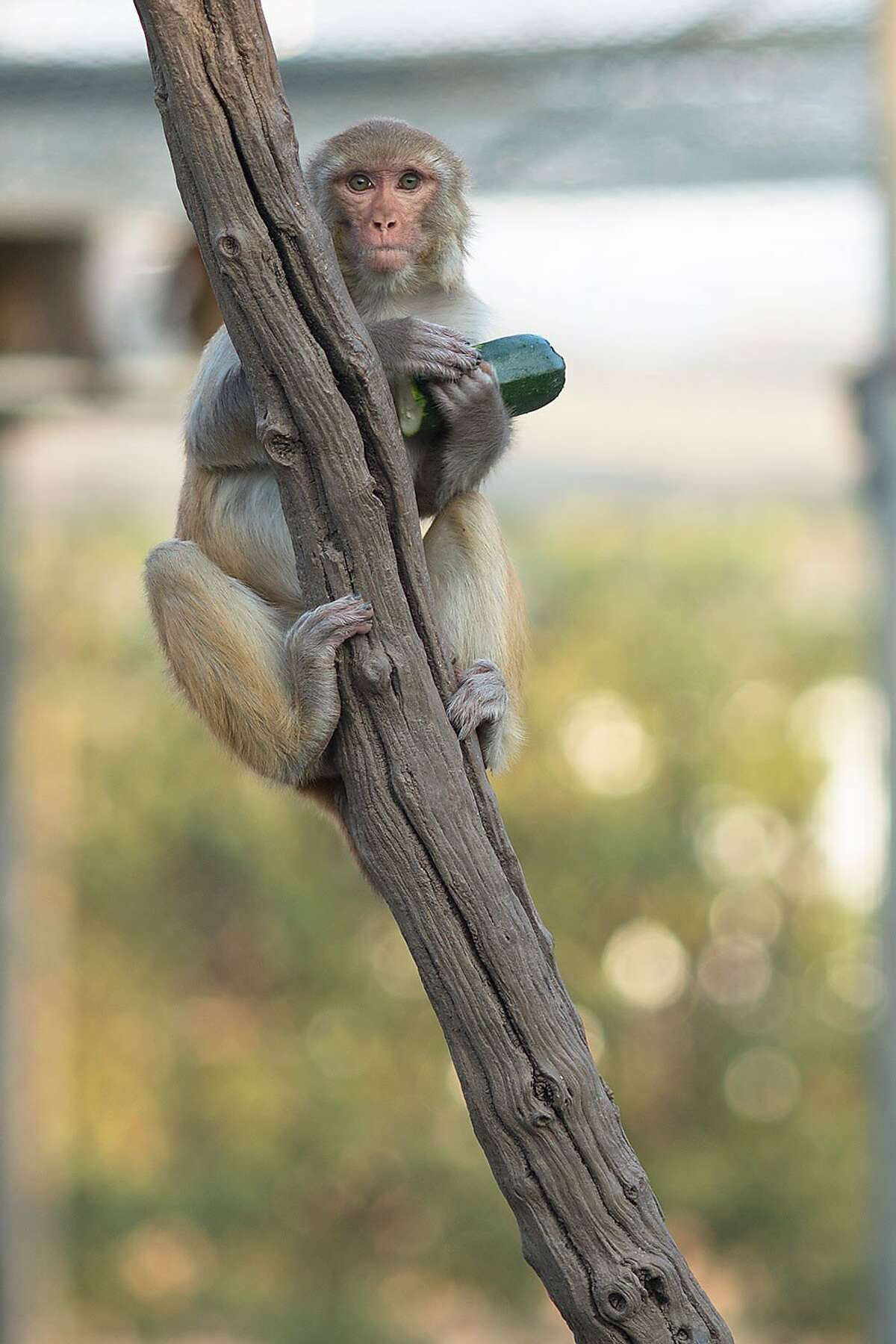 A monkey munches on a zucchini at the California National Primate Research Center at UC Davis, which relies on primates for medical and behavioral studies.