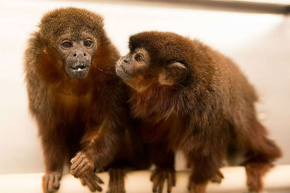 Scientists at the California National Primate Research Center at UC Davis studied these coppery titi monkeys�to understand patterns of jealousy in primates.
