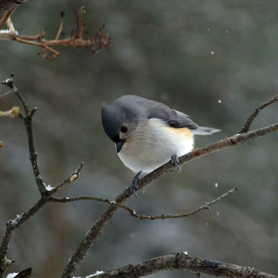 Tufted titmouse (credit: Peter D. Bowden)