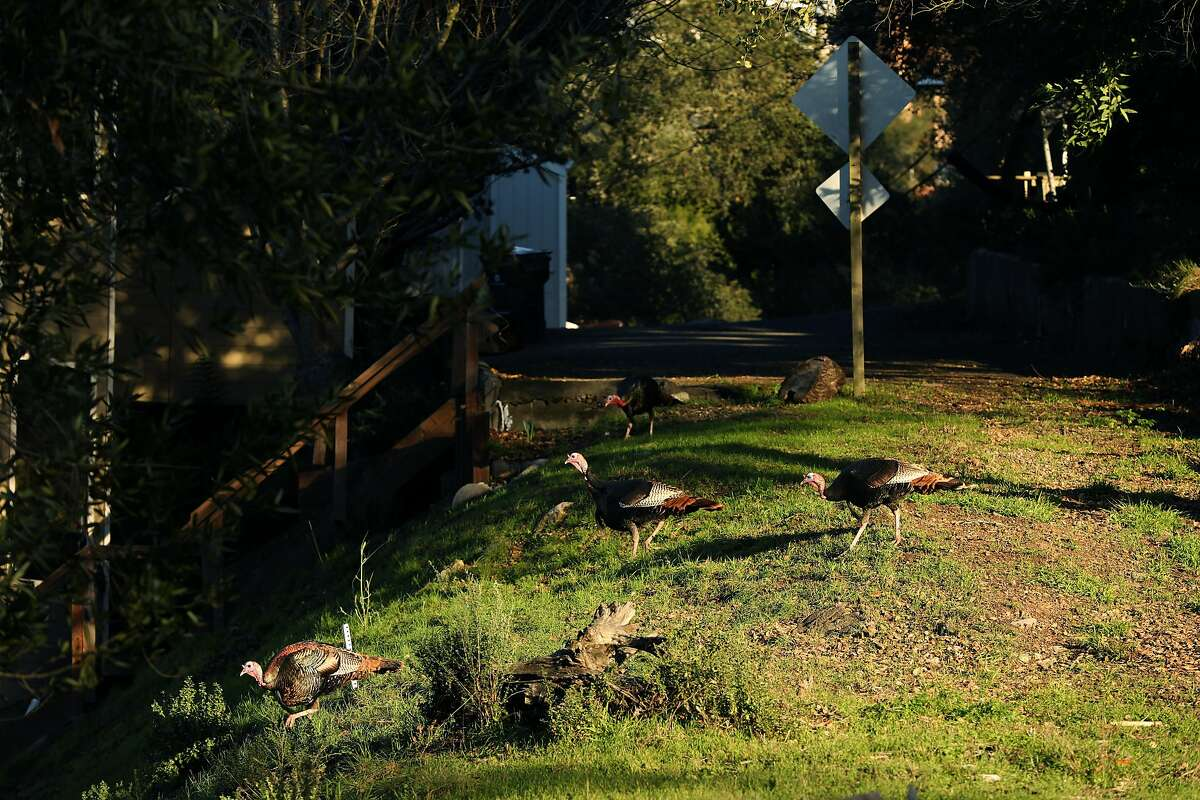 """Turkeys cross over to a vacant lot on Oakwood Court in Montclair, Calif., on Wednesday, January 23, 2019. Oakland has a new tax on vacant properties. Starting this year, any property in Oakland that is used less than 50 days a year will be subject to a tax. This includes commercial, residential and raw land. There are some exceptions, such as for very low income people. The city sent a letter to property owners who may be subject to the tax and many are confused and upset. """"I hope there's a class action lawsuit to stop this,"""" said Mel Copland, 71, a broker with Alain Pinel Realtors. """"To be fair, I don't think they should take on an individual group of people to support the city of Oakland. If the voters vote on it, the whole city should pay for it. It should not be just people with vacant lots. You're taking on people, you know, had these lots for 30 some odd years. It's not fair."""""""