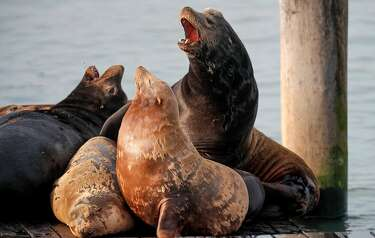 Crazy photos show sea lion attacking leopard shark near