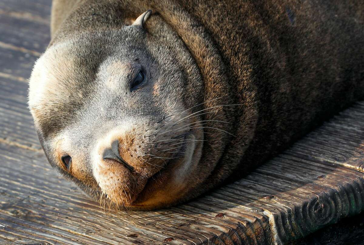 Sea lions at Pier 39 enjoys a rest on Wednesday, Jan. 17, 2018 in San Francisco , Calif. The sea lion population has rebounded after a major die-off during the recent drought.