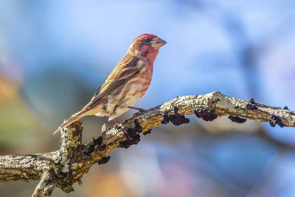Purple finches are showing up in the area this winter. Males are rosy-red on their head, throat, breast, back and tail.