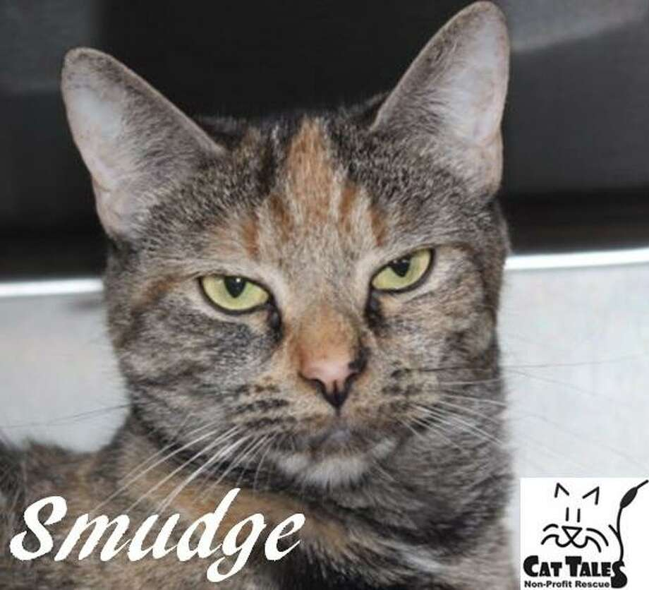 "Smudge, a 2-year-old female torti, is ready to go to a new home. She says, "" I'm a very sweet kitty. My owner passed away and sadly, I was left without a home. I'd like a new home with a person or family who will pet and play with me and give me time to adjust to my surroundings. I'd prefer to be your only kitty. Please adopt me as I have so much love to give.""  Visit http://www.CatTalesCT.org/cats/Smudge-2, call 860-344-9043 or email info@CatTalesCT.org. Watch our TV commercial: https://youtu.be/Y1MECIS4mIc Photo: Contributed Photo"