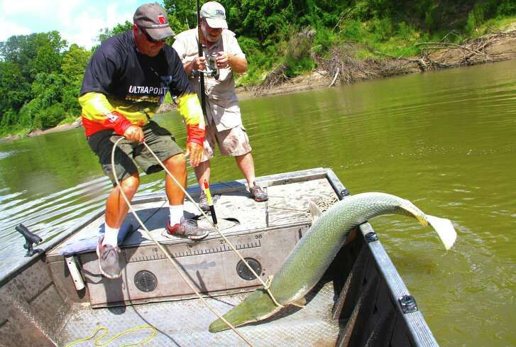 Texas fisheries managers propose significant changes in the rules governing the taking of alligator gar, including a 4-foot length maximum for alligator gar taken from most of the Trinity River, requiring anglers to electronically report the harvest of any alligator gar taken from public waters other than Falcon Lake and prohibiting nighttime bowfishing for this largest of Texas freshwater fish.