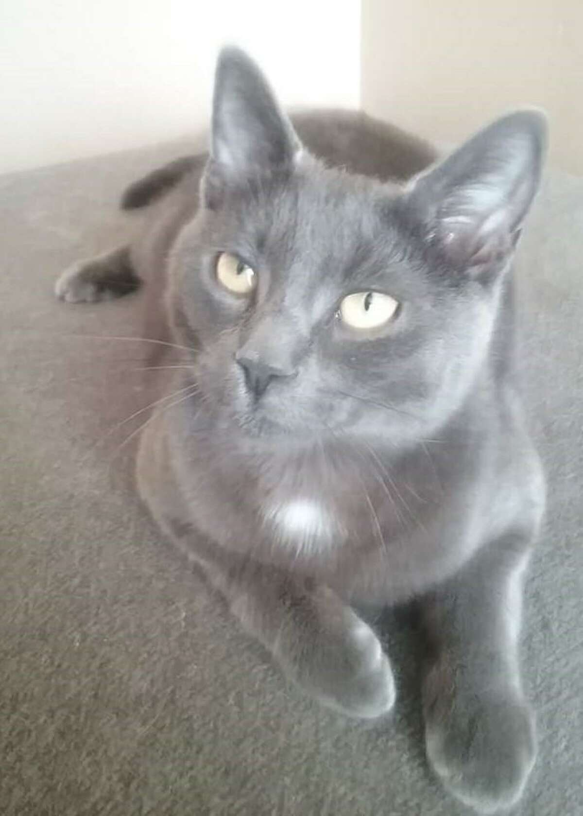 Attorney Thomas Cherry of Cheshire is currently the advocate in a case involving this cat named