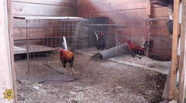 300 roosters and other birds rounded-up during cockfighting bust in