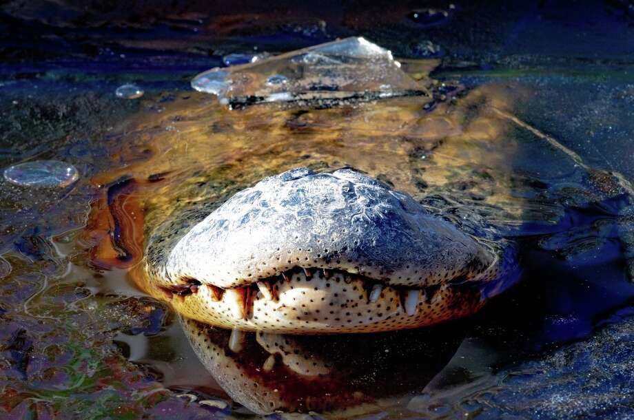Alligators poke their noses through ice at the Swamp Park, Ocean Isle Beach, N.C. Photo credit: George Howard. Visit Swamp Park's Facebook page here. Photo: George Howard/The Swamp Park / © 2013  Houston Chronicle