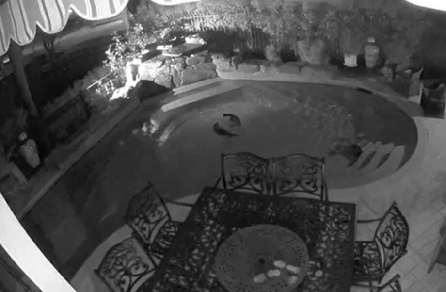 While it's hard to know for sure what these raccoons were doing, surveillance video of Bo Rodriguez's backyard pool shows they seem to be enjoying their own pool party on Jan. 22.