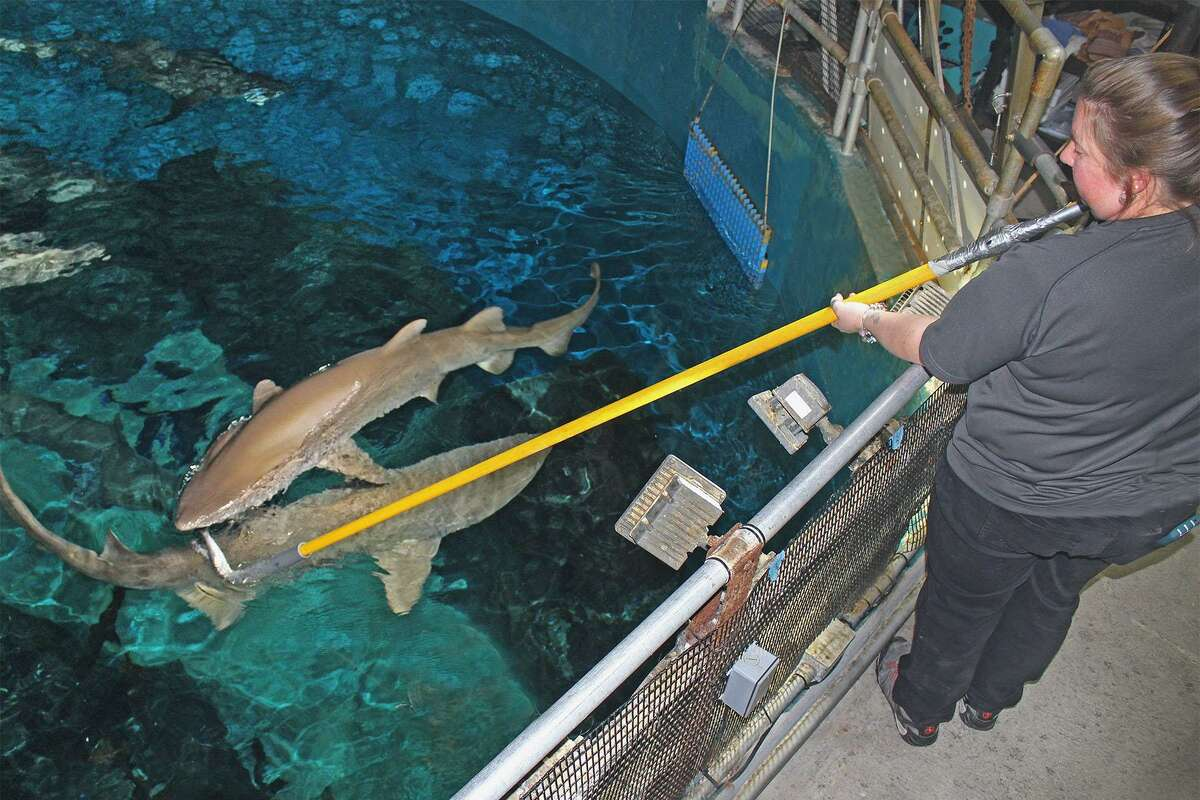 Sandi Schaefer-Padgett, a senior aquarist for The Maritime Aquarium at Norwalk, uses a pole to feed the sand tiger sharks from above the