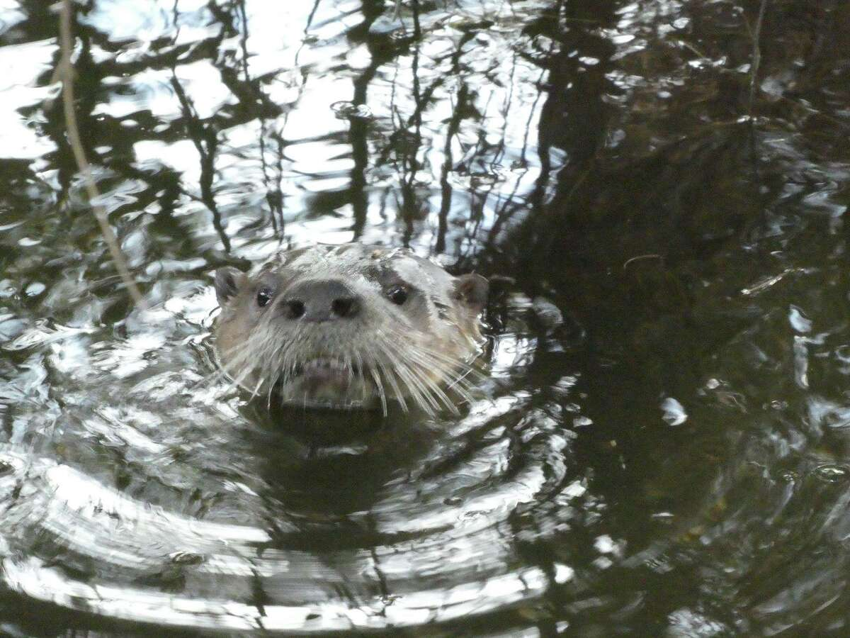 Photographer Phil Rowntree snapped a few pictures of a river otter in Berkeley's Aquatic Park on Jan. 22, 2019.