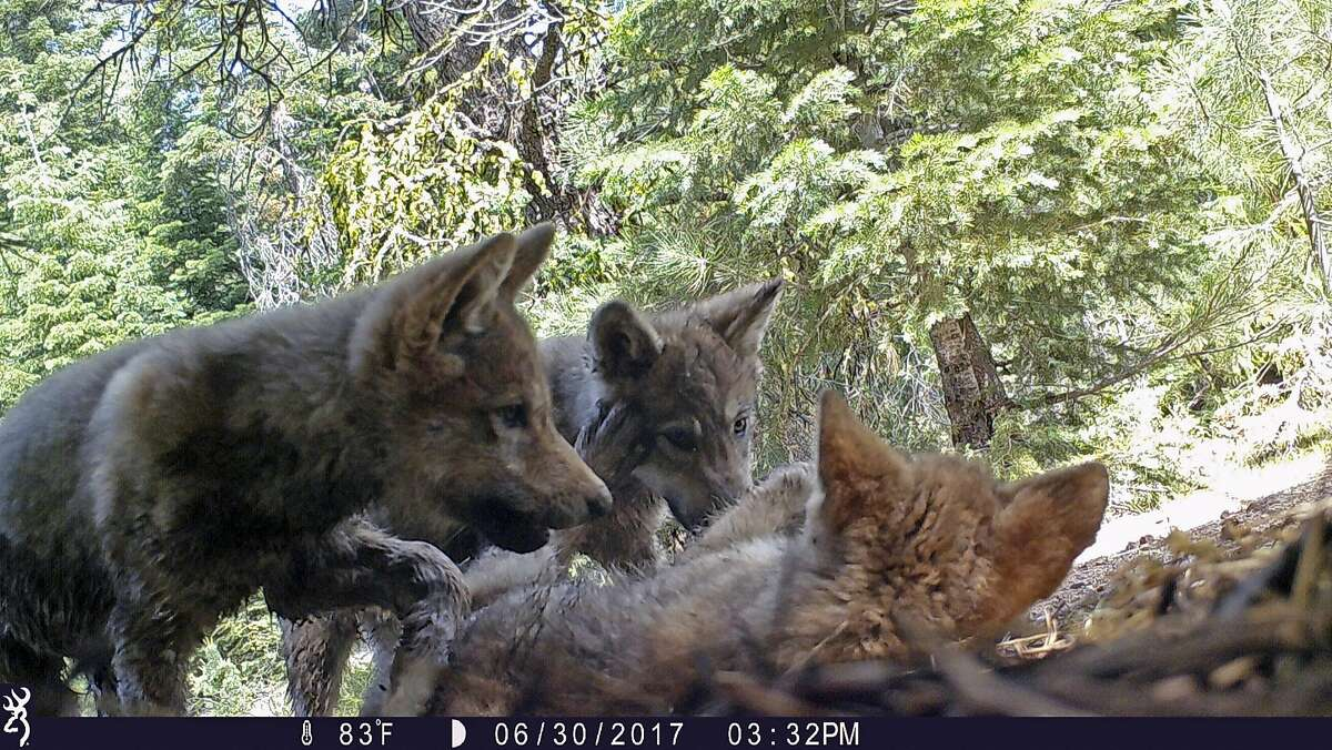 FILE - This June 30, 2017 remote camera image released by the U.S. Forest Service shows a female gray wolf and her mate with a pup born in 2017 in the wilds of Lassen National Forest in Northern California, A California judge has upheld protection for gray wolves under the state's Endangered Species Act, rejecting a challenge from ranchers and farmers. The judge in San Diego ruled Monday, Jan. 28, 2019 that California was right when it listed wolves as endangered in 2014. (U.S. Forest Service via AP, File)