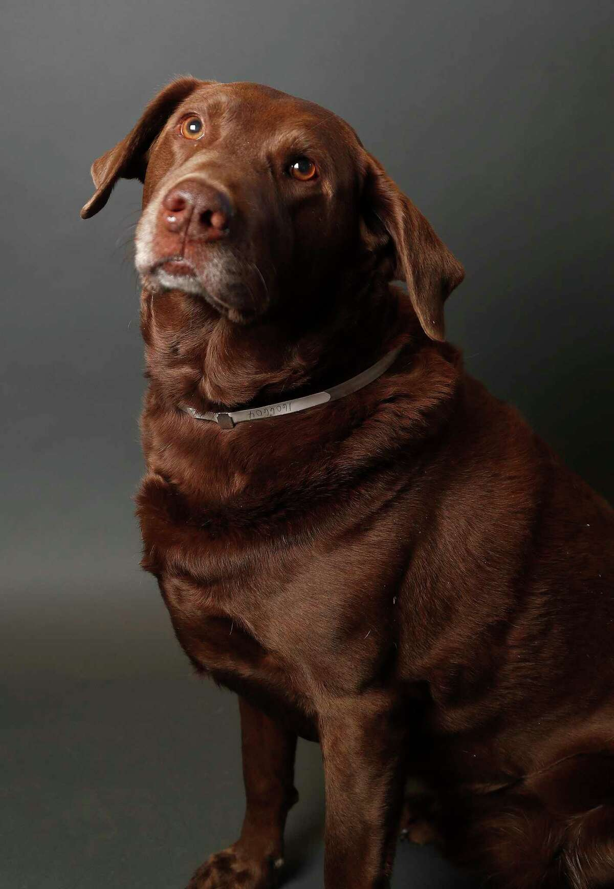 Bear is a 3-year-old, male, Cheapeake Bay Retiriever mix and is ready to be adopted from BARC Houston. (Animal ID: A1606604) Photographed Tuesday, Jan. 29, 2019, in Houston.