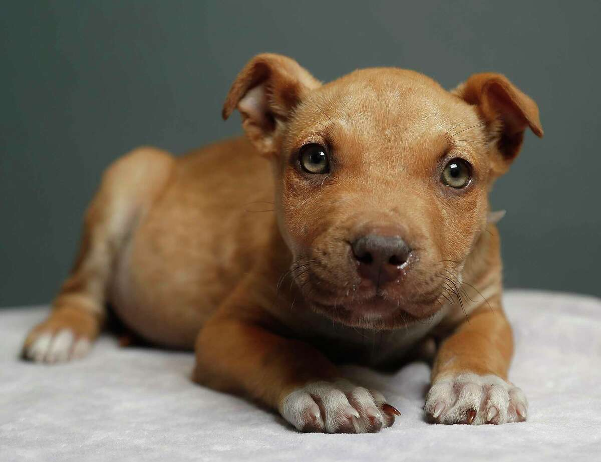 Dawson is a 3-month-old, male, Labrador Retreiver mix and is ready to be adopted from BARC Houston. (Animal ID: A1606727) Photographed Tuesday, Jan. 29, 2019, in Houston.