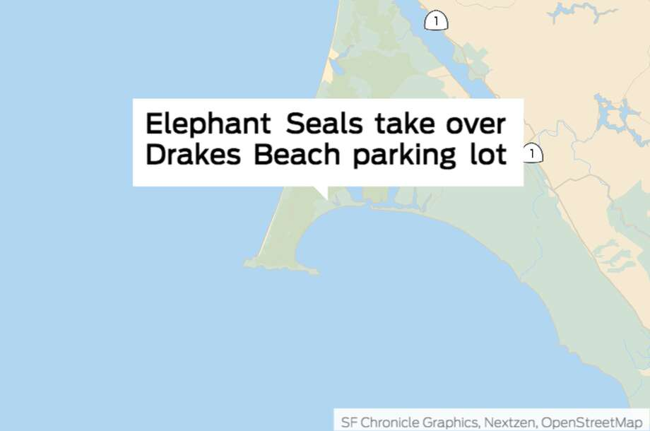 Elephant seals take over Drakes Beach parking lot. Photo: Chronicle Graphic