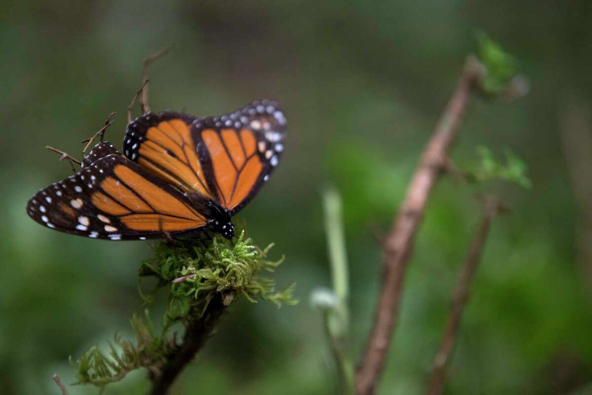 FILE - In this Nov. 12, 2015 file photo, an ailing butterfly rests on a plant at the monarch butterfly reserve in Piedra Herrada, Mexico State, Mexico. Millions of monarchs migrate from the United States and Canada each year to pine and fir forests to the west of the Mexican capital.
