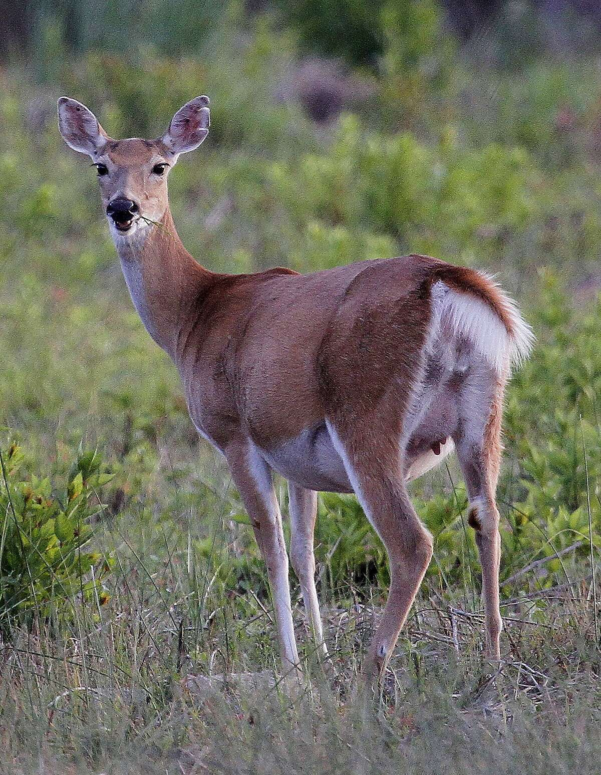 Citing expanding whitetail deer populations and a skewing of buck/doe ratios, Texas wildlife managers are proposing significantly expanding opportunities for hunters in 41 counties of the Blackland Prairie and Post Oak Savannah region to take antlerless deer beginning with the 2019-20 hunting season.