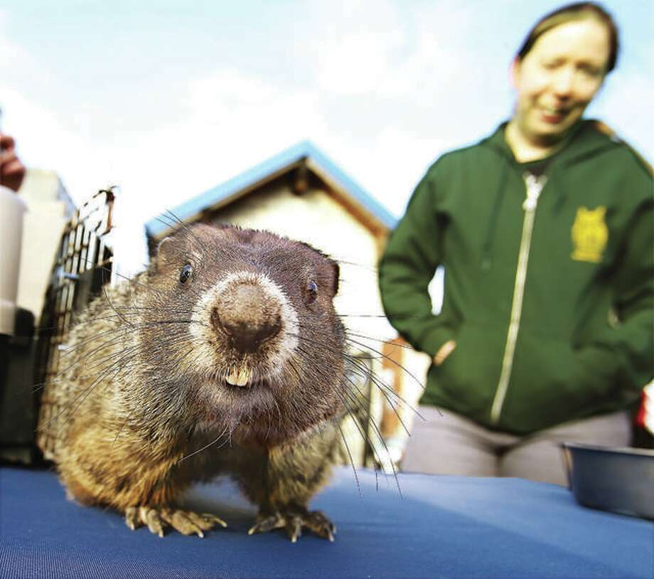 Murray, a groundhog from the TreeHouse Wildlife Center, gets a closer look at the photographer's camera at a past Groundhog Day event. Photo: John Badman | The Telegraph