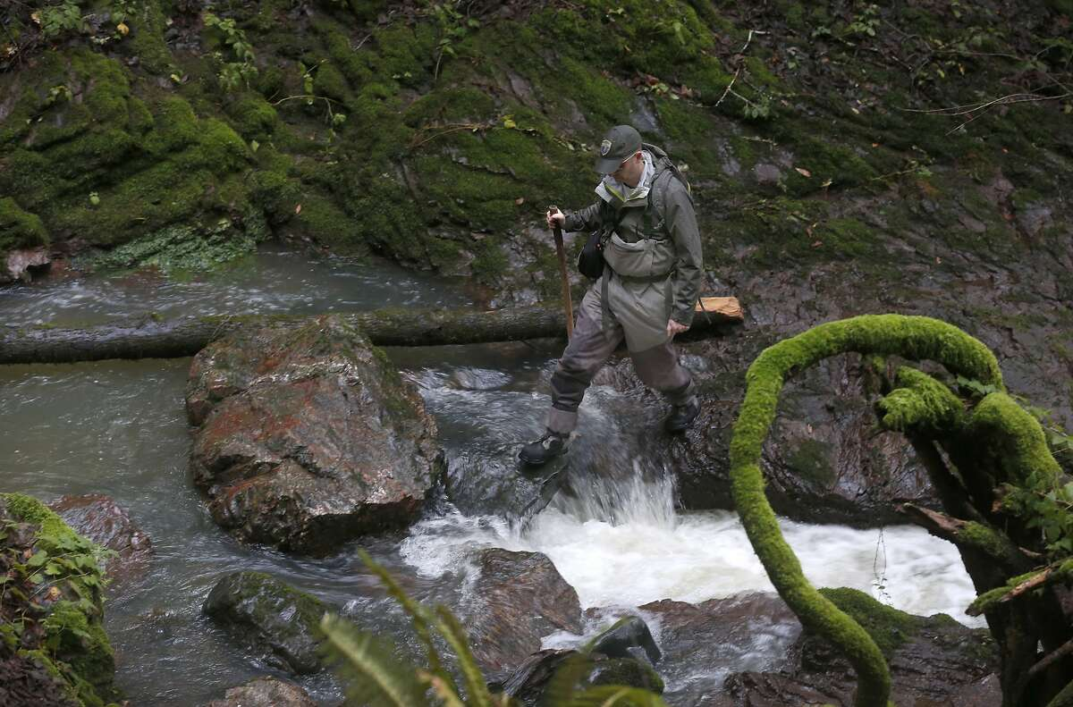 Eric Ettlinger, an aquatic biologist with the Marin Municipal Water District, monitors coho salmon spawning activity in a creek running through Devil's Gulch at Samuel P. Taylor State Park on Friday, Jan. 11, 2019.