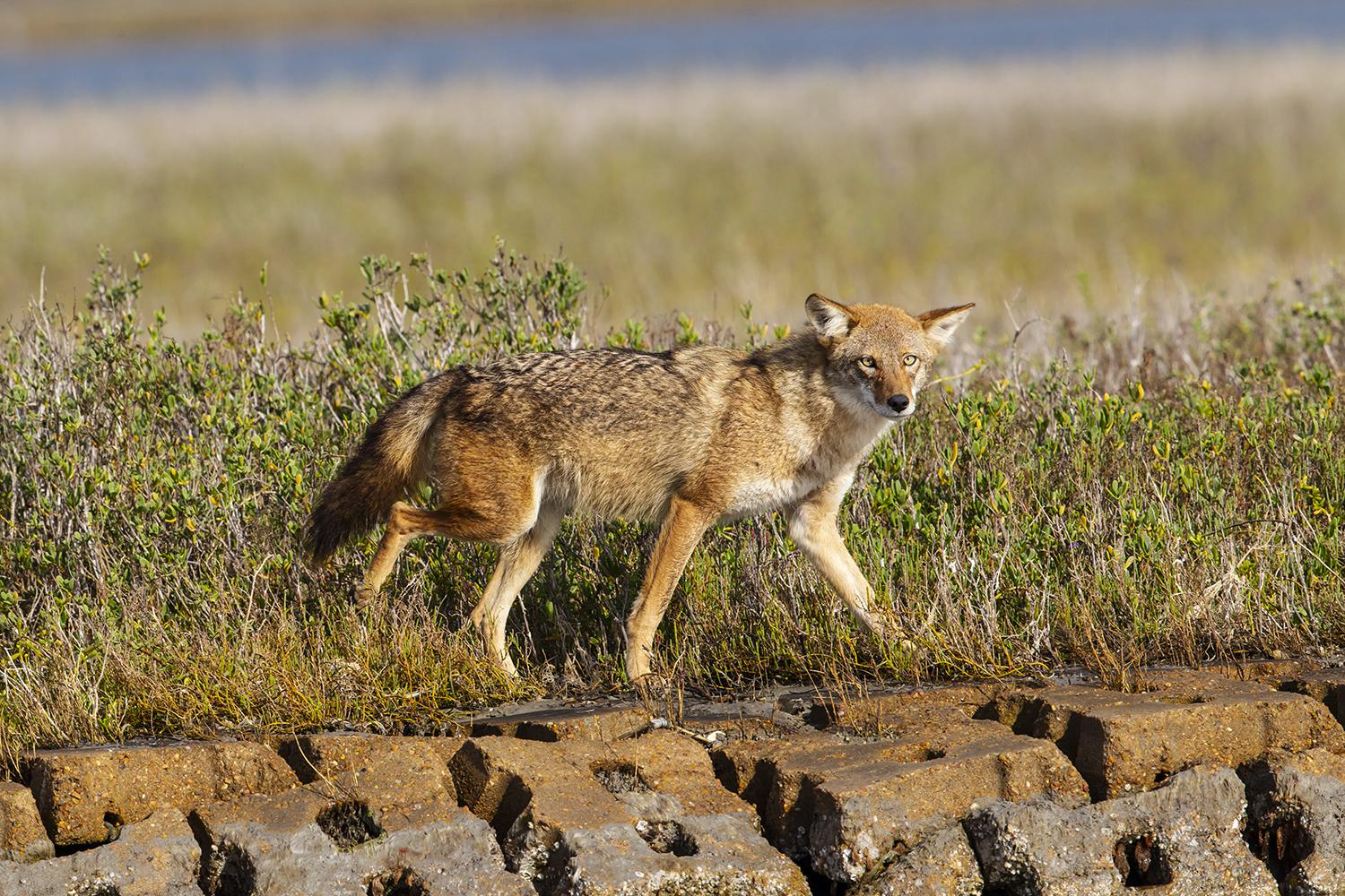 Tracking the wily coyote on the Gulf Coast