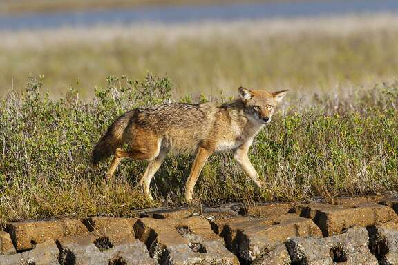 Coyotes are fairly common in southeast Texas, said Texas Parks and Wildlife biologist Kelly Norrid. They're not typically aggressive — having grown accustomed to human developments long ago — but can still be dangerous if not dealt with appropriately.