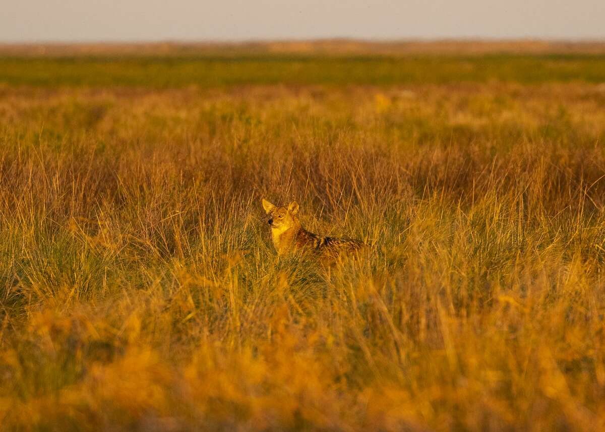 Wolves are nowhere to be found in Texas but coyotes range throughout the state. Photo Credit: Kathy Adams Clark. Restricted use.