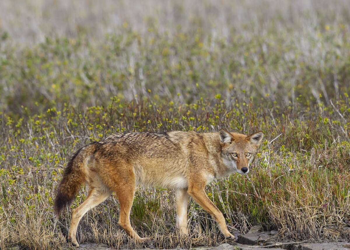Coyotes range from Panama to Alaska. They are smart, stealthy, and tend to hunt at night. Photo Credit: Kathy Adams Clark. Restricted use.