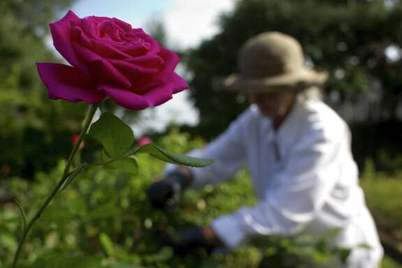 Gardeners should get out and prune the roses in mid-February.