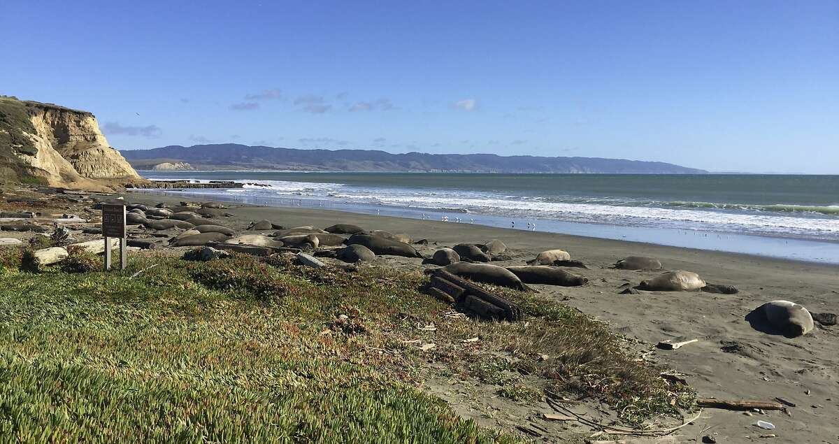 In this photo taken Jan. 21, 2019, provided by the Point Reyes National Seashore, is a colony of elephant seals that took over a beach in Northern California during the government shutdown when there was no staff to discourage the animals from congregating in the popular tourist area. About 60 adult seals that have birthed 35 pups took over a beach in Point Reyes National Seashore, knocking down a fence and moving into the parking lot, the San Francisco Chronicle reported on Wednesday, Jan. 30, 2019. (John Dell'Osso/Point Reyes National Seashore via AP)