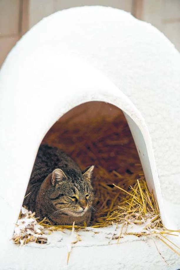 A stray cat found shelter inside a hay-filled pet igloo in the Valentine neighborhood in Kansas City, Missouri, during heavy snowfall that blanketed the metro area, Thursday, February 21, 2013. (David Eulitt/Kansas City Star/MCT)