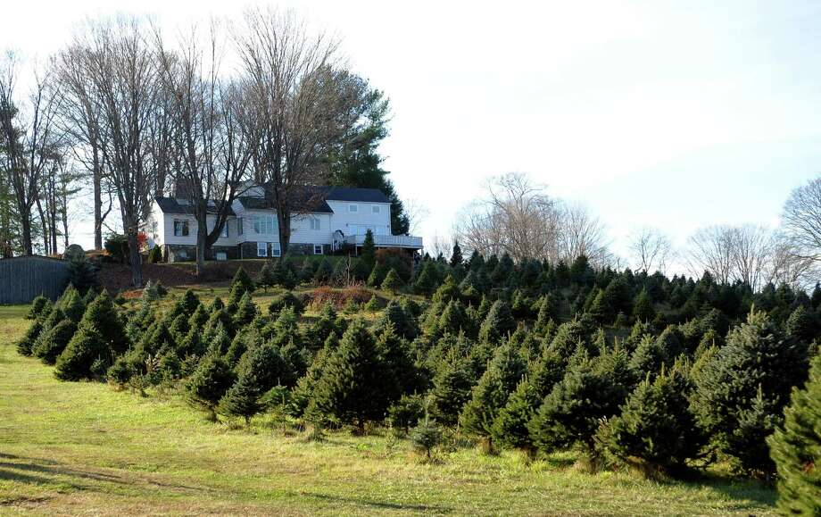 Families hunt for a Christmas tree at Maple Row Farm in Easton. Photo: Christian Abraham / Hearst Connecticut Media / Connecticut Post