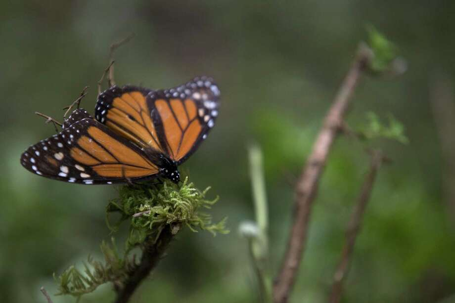 In this Nov. 12, 2015 file photo, an ailing butterfly rests on a plant at the monarch butterfly reserve in Piedra Herrada, Mexico State, Mexico. Millions of monarchs migrate from the United States and Canada each year to pine and fir forests to the west of the Mexican capital. (AP Photo/Rebecca Blackwell, File) Photo: Rebecca Blackwell / Associated Press / Copyright 2019 The Associated Press. All rights reserved.