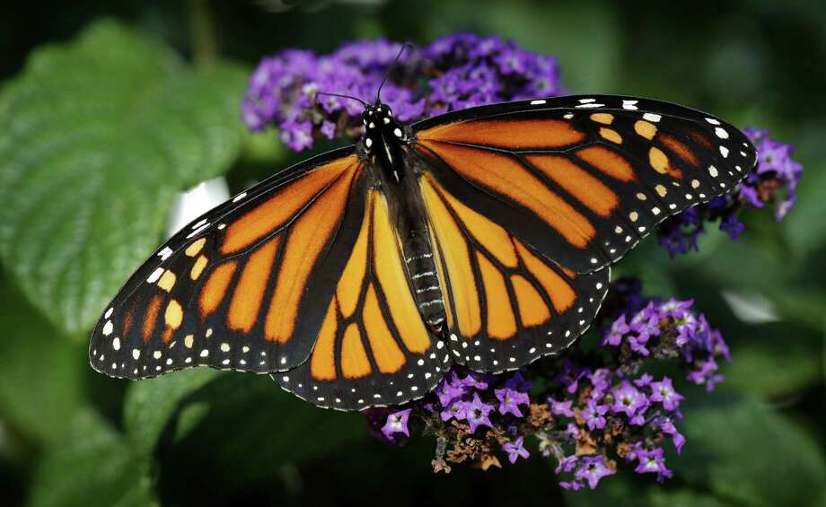 In this Sept. 17, 2018 file photo, a monarch butterfly rests on a flower in Urbandale, Iowa.