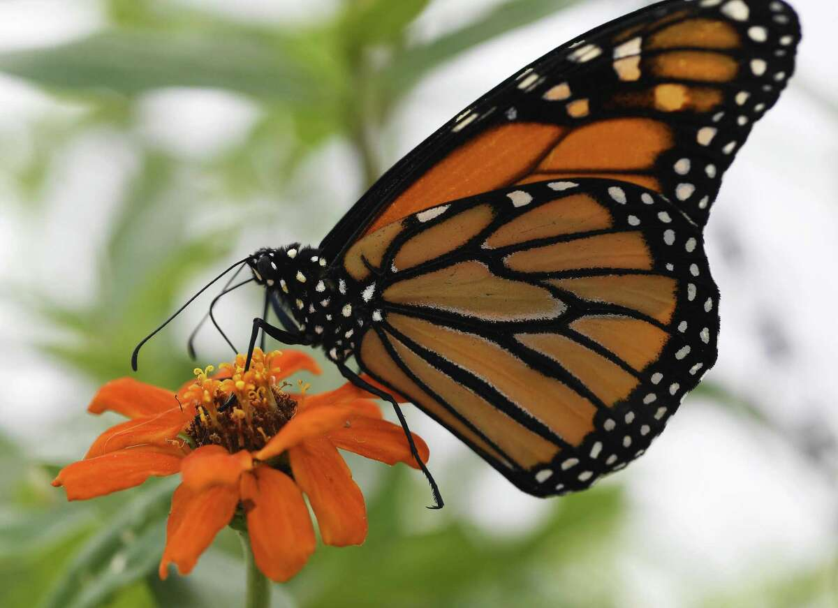 A viceroy clings to a flower at the Butterfly Pavilion and Denver Botanic Gardens fourth annual habitat experience Butterflies at Chatfield Farms May 25, 2017 in Jefferson County. (Photo by Andy Cross/The Denver Post via Getty Images)