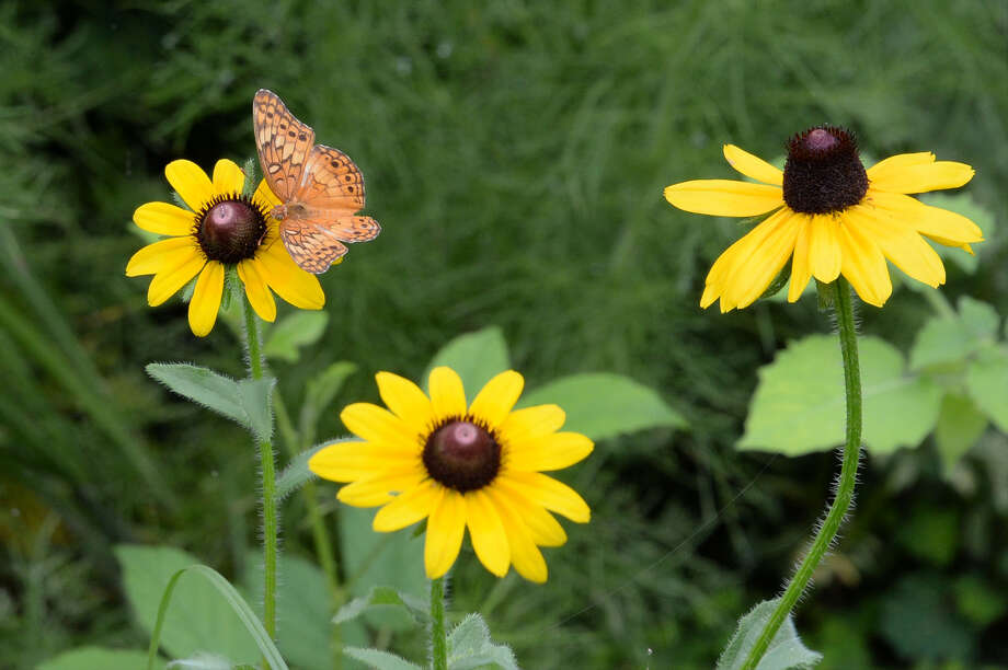 A butterfly rests on a wildflower at the Houston Arboretum & Nature Center, Houston, TX on Thursday, June 21, 2018. Photo: Houston Chronicle
