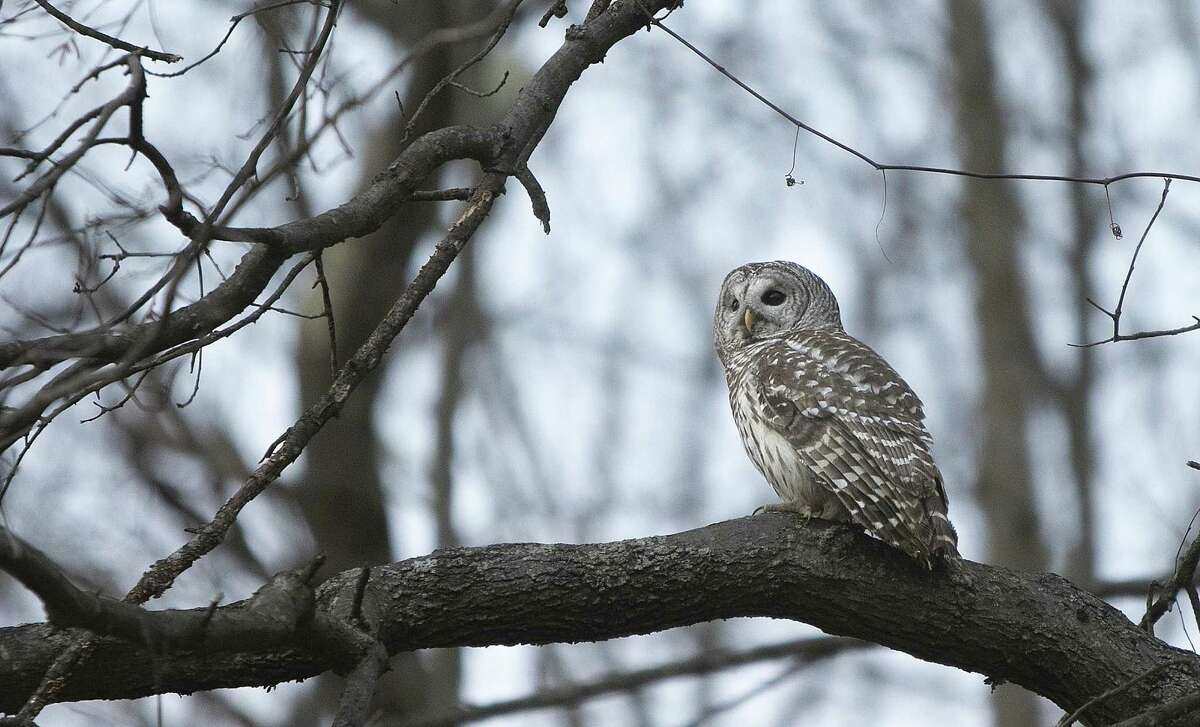 File photo of a barred owl perched in a tree after it was released near Mount Southington in Southington, Conn., by Jayne Neville of Mount Vernon Songbird Sanctuary. (Dave Zajac/Record-Journal via AP)
