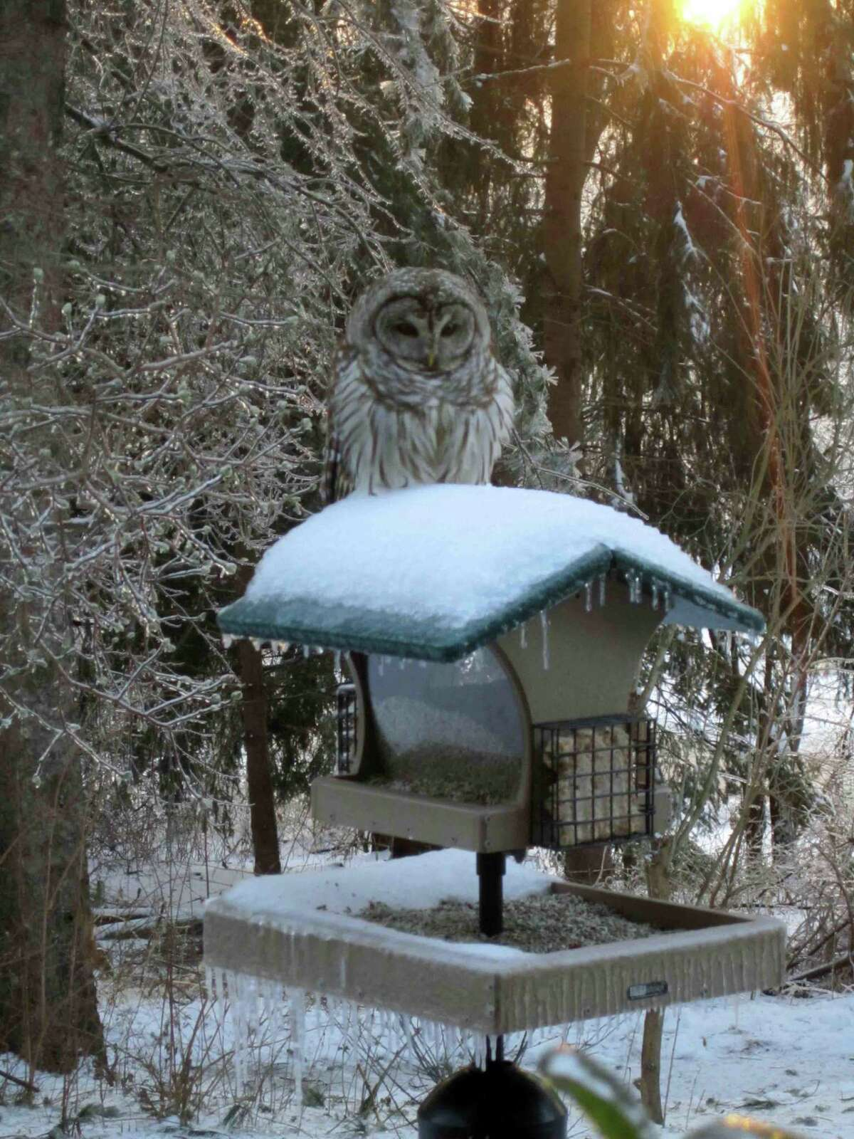 A barred owl seen sitting on a Middletown feeder. Photo submitted by Jim Arrigoni.