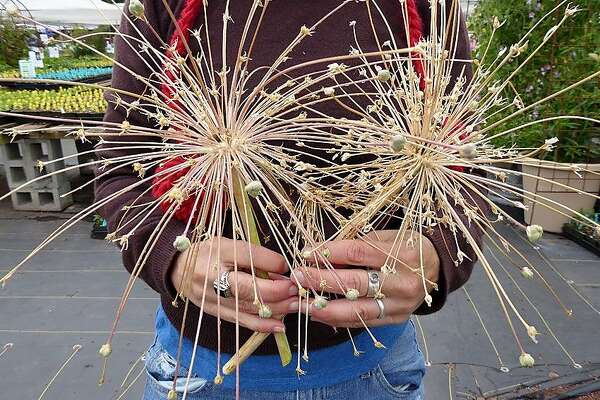 Ornamental Onions Bring Spring Fireworks To The Garden