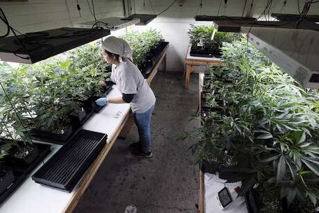 FILE - In this Dec. 27, 2018 file photo a grower at Loving Kindness Farms attends to a crop of young marijuana plants in Gardena, Calif. A group of Democratic state lawmakers are proposing major tax cuts for the marijuana industry to jump-start's California's sluggish legal marketplace. The bill Assemblyman Rob Bonta of Oakland and others introduced Monday, Jan. 28, 2019 would for the next three years eliminate the state's $148 per pound cultivation tax and reduce the state's 15 percent excise tax on retail sales to 11 percent. (AP Photo/Richard Vogel, File) Photo: Richard Vogel, Associated Press