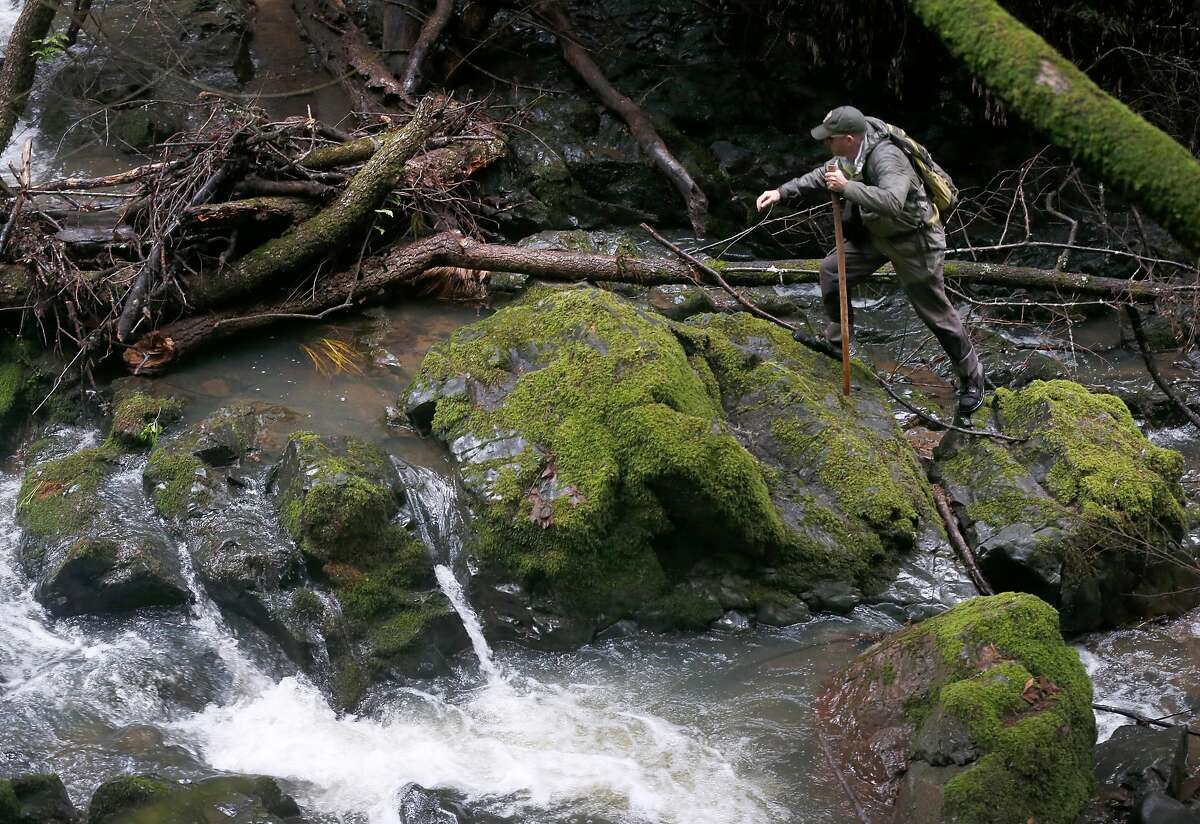 Eric Ettlinger, an aquatic biologist with the Marin Municipal Water District, climbs over rocks covered with moss to monitor coho salmon spawning activity in a creek running through Devil's Gulch at Samuel P. Taylor State Park on Friday, Jan. 11, 2019.
