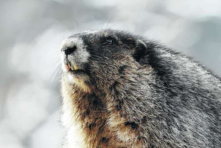Most groundhogs are from 20 to 25 inches long and weigh from 7 to 14 pounds. Although plentiful in most states, only a few are famous. Photo: Getty Images