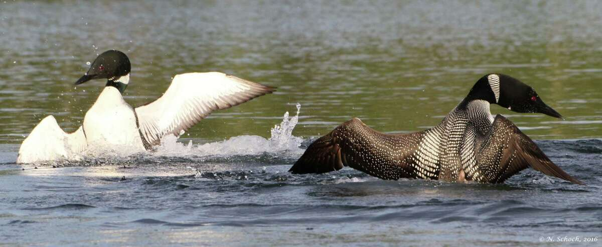 """""""Loon Fight"""" by Nina Schoch of the Adirondack Loon Center"""