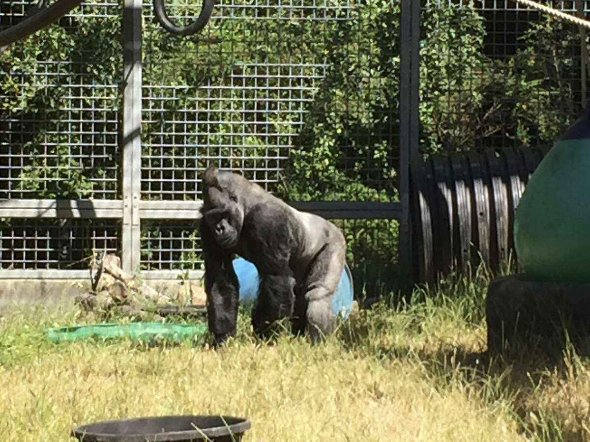 In this 2016 photo provided by the Cincinnati Zoo and Botanical Garden, Ndume stands in The Gorilla Foundation's preserve in California's Santa Cruz mountains.