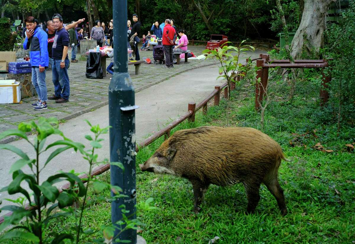 In this Jan. 13, 2019, photo, a wild boar scavenges for food while local residents watch at a Country Park in Hong Kong. Like many Asian communities, Hong Kong ushers in the astrological year of the pig. That's also good timing to discuss the financial center's contested relationship with its wild boar population. A growing population and encroaching urbanization have brought humans and wild pigs into increasing proximity, with the boars making frequent appearances on roadways, housing developments and even shopping centers.