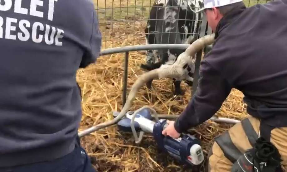 Video of the animal rescue shared to Facebook earlier this month has gone viral, reaching people as far as Australia, Halset Fire Chief Kirt Mays said.>>>See more for things you should know about the famous longhorn steer Bevo, theUniversity of Texasmascot... Photo: Courtesy Halset Fire Rescue