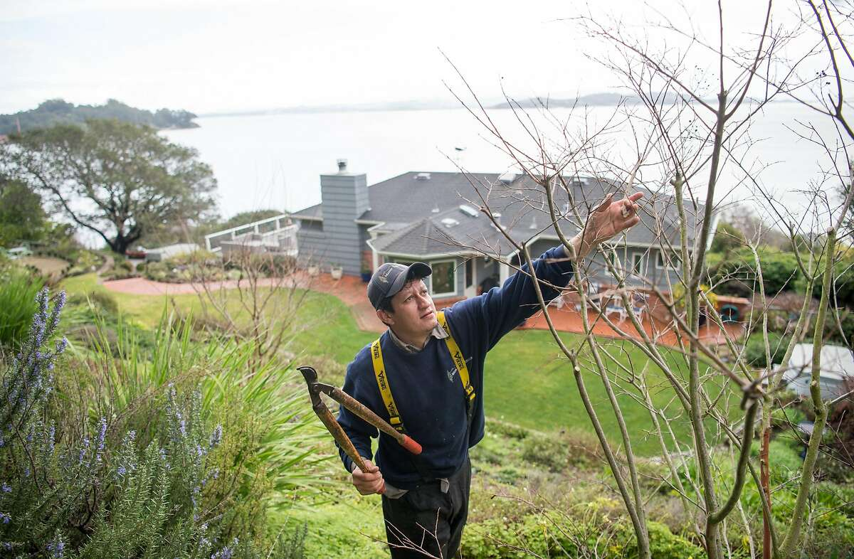 Tony Carranza of Marin Tree Service trims shrubs at the home of Bille Going in San Rafael, California on February 04, 2019.
