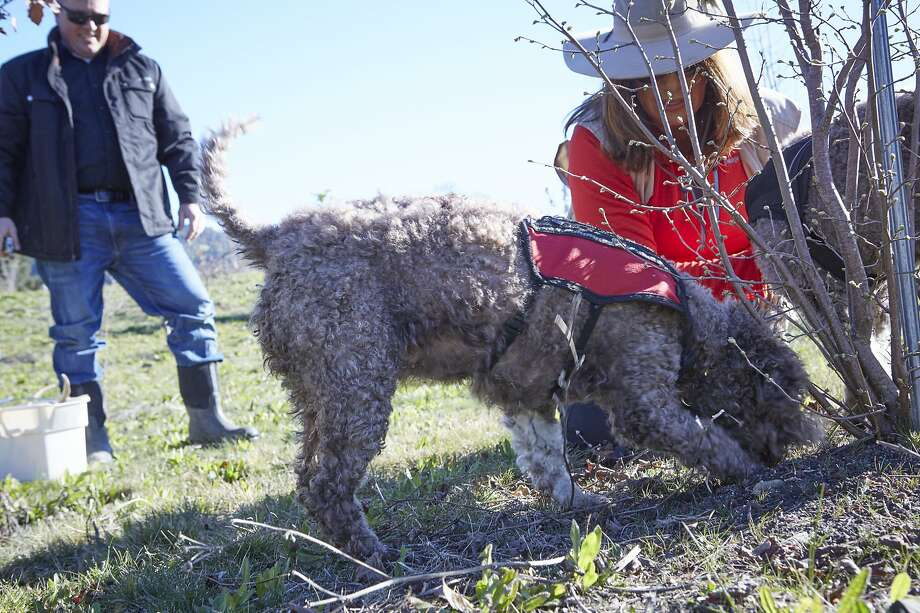 """Staci O'Toole watches her dog Mila find at truffle at Jackson Family Wines in Santa Rosa. Photo: Alan Campbell Photography / """"Season"""""""