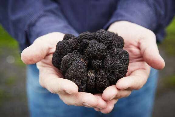 Black Perigord truffles, truffle dogs and the truffle hunt at Jackon Family Wines in Santa Rosa.
