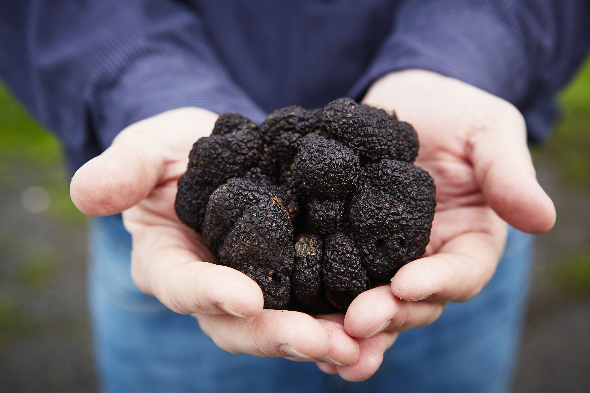 Northern California is suddenly awash in locally grown black truffles