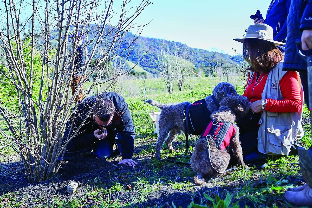 Brian Malone (left) sniffs a truffle found by Mila (foreground) with owner Staci O'Toole at Jackson Family Wines.